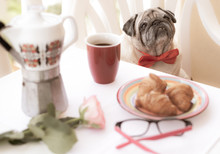 An Old And Beloved Pug Dog Sitting On A Chair In The Balcony, Ready For Party. Breakfast On The Table.  The Best Friend For Every People. Table With A Rose And Eyeglasses