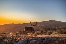 12 Point Mule Deer Buck In Mou...