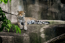 Jaguar Lieing On A Stone Cliff Waiting For Food