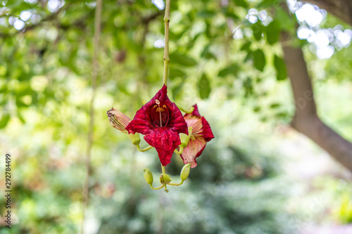 Photo Sausage Tree Kigelia africana flower dangling from branch