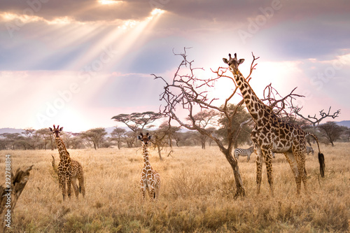 tower of giraffes Wallpaper Mural