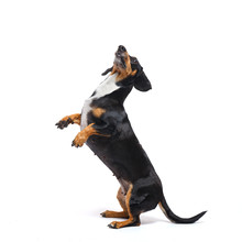 Adorable Dachshund Dog Stands ...