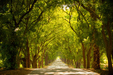 Beautiful Tree Tunnel During The Summer Time.
