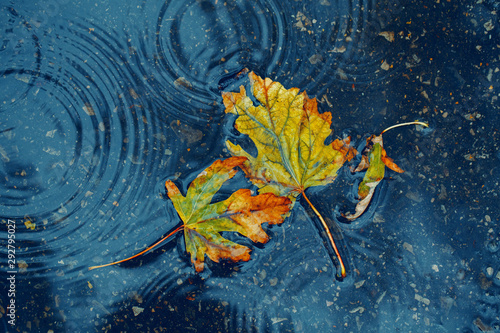 Beautiful old withered torn yellow autumn maple leaves in puddle on ground under rain Fototapet