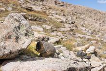 Marmot In Boulder Field