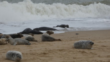 Grey Seals Enjoying The Tide Coming In And Waiting For Fresh Food