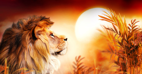 Obraz na Szkle Zwierzęta African lion and sunset in Africa. Savannah landscape with palm trees, king of animals. Spectacular warm sun light, dramatic red cloudy sky. Portrait of pride dreaming leo in savanna looking forward.