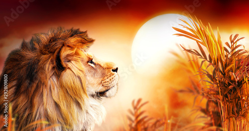 African lion and sunset in Africa. Savannah landscape with palm trees, king of animals. Spectacular warm sun light, dramatic red cloudy sky. Portrait of pride dreaming leo in savanna looking forward.