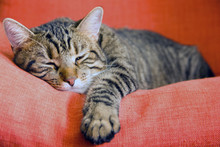 Relaxed Cat Resting On Red Armchair Sleepy Calm Cat Lying Down On Colorful Cozy Couch At Home