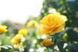 Beautiful rose in blooming garden on sunny day