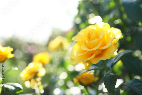 Obraz Beautiful rose in blooming garden on sunny day - fototapety do salonu