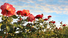 Green Bush With Beautiful Roses In Blooming Garden On Sunny Day