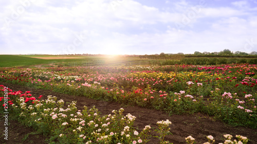 Foto op Canvas Zwavel geel Bushes with beautiful roses in blooming field