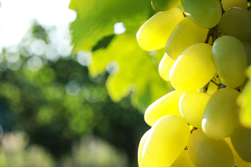 Fresh ripe juicy grapes growing on branch outdoors, closeup