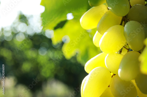 Photo Stands India Fresh ripe juicy grapes growing on branch outdoors, closeup