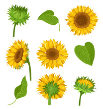 The Set Of Sunflowers With Different Elements And Details Vector Illustrations