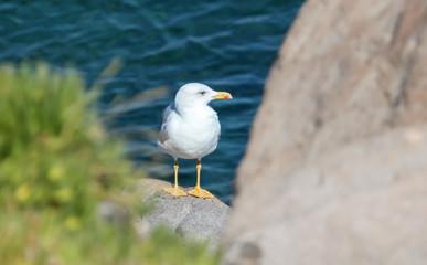 Portrait of a seagull on the rocks near the sea