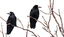Two Black Ravens On Tree Branches Isolated On A White Background