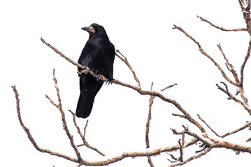Black raven on tree branches isolated on a white background