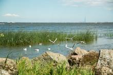 Flocks Of White Gulls On The G...