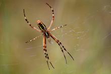 Araignée, Argiope Dans Sa Toile