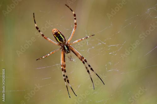 Photo Araignée, argiope dans sa toile