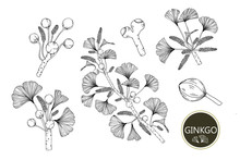 Collection Ginkgo Biloba Branches With Line-art On White Backgrounds. Vector Hand Drawn Illustration.