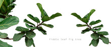 Panorama Of Fiddle Leaf Fig Tr...