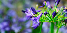 Close-up Of  Agapanthus Flower...