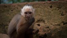 Un Macaque Tire La Grimace