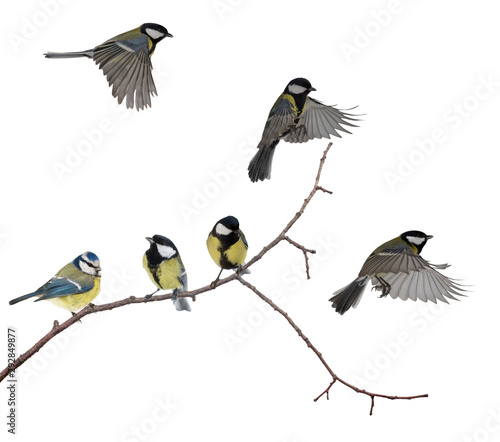 Foto auf AluDibond Natur isolated six tits on tree branch
