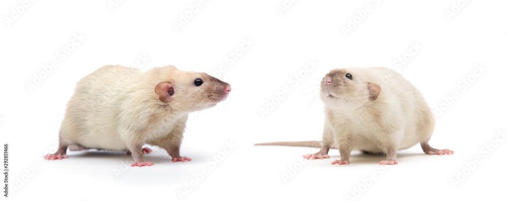 Fototapeta rat close-up isolated on white background