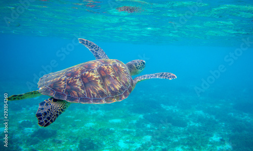 Sea turtle swimming under sea surface. Green turtle underwater photo. Tropical seashore wildlife. Wild marine tortoise