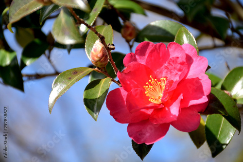 Fotomural Sasanqua - Camellia sasanqua.