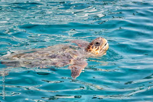 Caretta Caretta Turtle from Zakynthos, Greece, near  Laganas beach, emerges to t Canvas Print