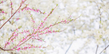 Apricot Branch With Pink Flowers Panorama. Spring Blooming Tree Background. Nature Backdrop. Blooming Spring Flower In Park. Blossom Sakura In Garden. Beautiful Tree. Panoramic Crop. Green Leaf