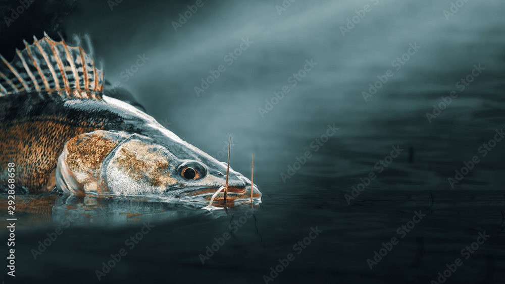 Fototapety, obrazy: Pikeperch closeup. Fishing on the principle