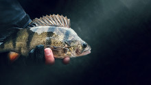 """Perch Closeup. Fishing On The Principle """"catch And Release"""""""