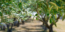 Green Olives Growing In Olive Tree ,in Mediterranean Plantation