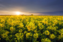 Field Of Rapeseed Flowers With The Setting Sun Landscape