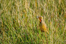Cape Longclaw In The Grass