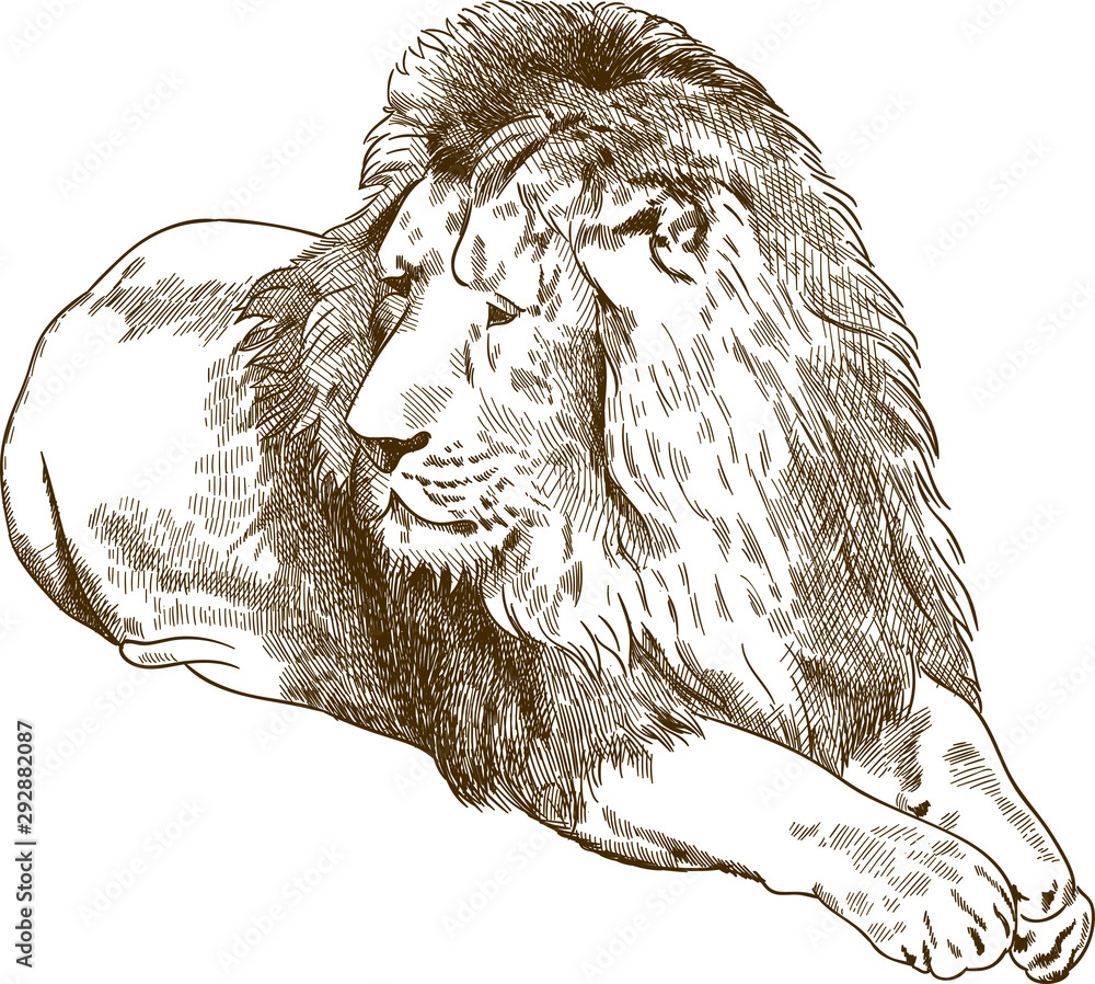 Fototapeta Vector antique engraving drawing illustration of lion or panthera leo isolated on white background