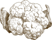 Vector Antique Engraving Drawing Illustration Of Cauliflower Or Brassica Oleracea Isolated On White Background