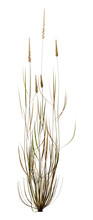 3D Rendering Patch Of Foxtail Grass On White