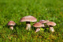 Mushrooms With Dew Drops On Th...