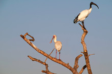 African Spoonbill And Sacred Ibis In A Tree In South Africa