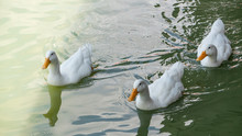 Side View Of 3 White Ducks On ...