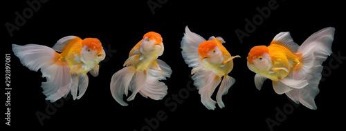 Fotografia, Obraz Collection of goldfish isolated on black background.