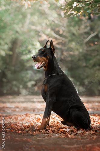 Tela Doberman dog beautiful portrait autumn park