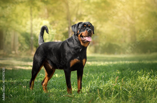 Photo rottweiler dog beautiful portrait spring green park